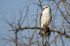 One Black Shouldered Kite sitting in a dry tree with mouse it ki royalty free stock photos