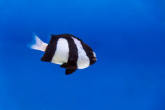 One black and white dascyllus trimaculatus fish in aquarium tank Stock Images