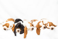 One black among the white puppies Royalty Free Stock Images