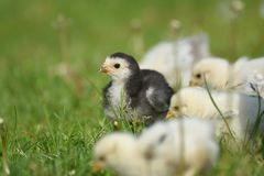 Young Brahma chick Stock Images