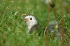 Young Brahma chick Royalty Free Stock Image