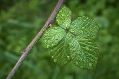 One blackberry leaves Stock Photo