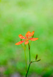 One of Blackberry Lily closeup Royalty Free Stock Images