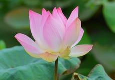 One Bloomed Pink Lotus flower. Beautiful Pink bloomed lotus flower during the day in the sun stock image
