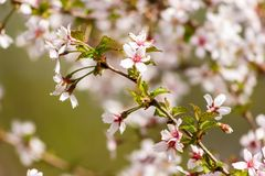 Branch of sakura. One blooming branch of sakura at blurred green and pink background Royalty Free Stock Photography