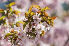 Branch of sakura. One blooming branch of sakura at blurred pink background in garden Stock Images