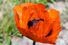 One blooming red poppy macro. Bright blooming red poppy on the light background Royalty Free Stock Photos