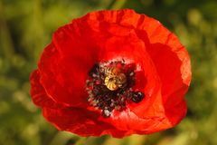 One blooming red poppy macro on the field. Horizontal stock photo