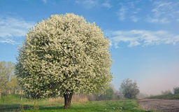One blooming tree Royalty Free Stock Photos