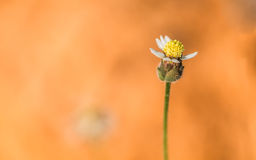 One blossom of grass on orange soil. Clos up of one blossom of grass on orange soil Royalty Free Stock Photography