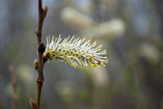 One blossom pussy willow stamen closeup Stock Images