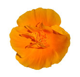 One Blossoming  Orange Flower close-up Stock Images