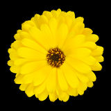 One Blossoming Yellow Pot Marigold Flower Isolated Stock Photo