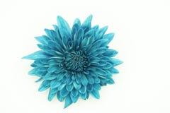 One blue Chrysanthemum Flower Isolated Stock Image