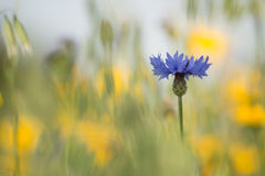 One blue cornflower in a field of flowers. One single blue cornflower in a field of yellow flowers Stock Photography