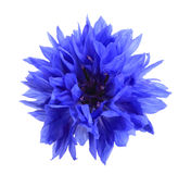 One blue flower stock images