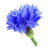 One blue flower Royalty Free Stock Photography