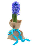 One blue hyacinth flower Royalty Free Stock Photography