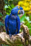 A beautiful parrot in the tropical zoo of Ubud, Bali, Indonesia. royalty free stock image