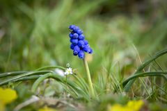 Muscari flower in green grass stock photo
