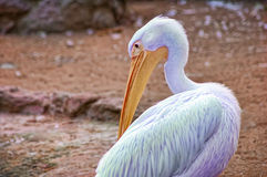 One blue pelican. Clean feathers Stock Photography