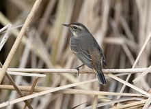 One blue throat on the reed Stock Photo