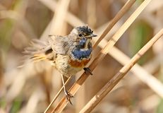 One blue throat sits on the reed after bathing Royalty Free Stock Images