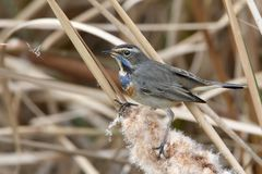 One blue throat in winter plumage sits on the reed Stock Photography