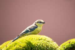 One blue tit with blue wings perched on green moss Stock Photos
