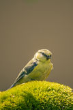 One blue-tit with yellow chest perched on green moss Stock Images