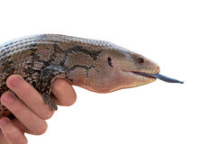One Blue-tongued skink being held by a hand, isolated on white Stock Photos