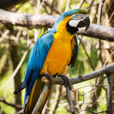 One Blue-and-yellow Macaw (Ara ararauna) Royalty Free Stock Photo