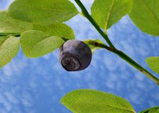 One blueberry Stock Photography