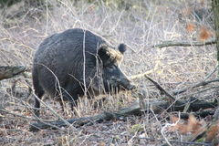 One boar in the forest.  Royalty Free Stock Images