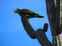 One of Bonaire remaining 900 yellow-shouldered Amazon parrots, Netherlands Antilles Stock Photos