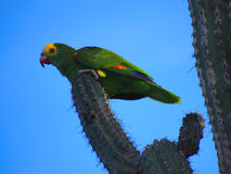 One of Bonaire remaining 900 yellow-shouldered Amazon parrots, Netherlands Antilles. Beautiful and endangered yellow-shouldered Amazon parrot on a cactus against Royalty Free Stock Images