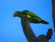 One of Bonaire remaining 900 yellow-shouldered Amazon parrots, Netherlands Antilles. Beautiful and endangered yellow-shouldered Amazon parrot on a cactus against Stock Photo