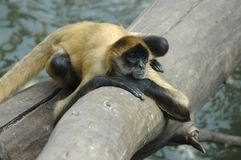 One Bored Monkey. Spider monkey waiting for the humans to get some food to him Royalty Free Stock Photography