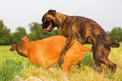 One boxer dog climbs on the other. Picture of one boxer dog who is climbing on the other stock photos