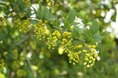 One branch of a blooming barberry. One branch of a blooming yellow barberry Royalty Free Stock Images
