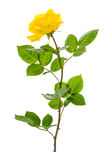 One branch of blooming yellow rose isolated on white background Royalty Free Stock Photo