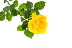 One branch of blooming yellow rose isolated on white background. Studio Photo Royalty Free Stock Photos