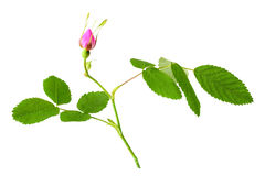 Dog rose with leaf and bud Royalty Free Stock Photography