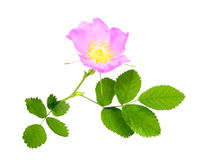 Branch of dog rose with leaf and flower. One branch of dog rose with leaf and flower. Isolated on white background. Close-up. Studio photography Stock Photo