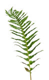 One branch of fernery. One branch of fernery on white surface Royalty Free Stock Images