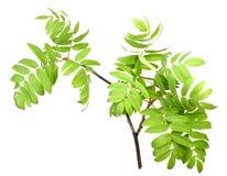 Branch of rowan wgreen leaf Stock Images