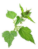 One branch of green nettle. With flowers isolated on white background. Close-up. Studio photography stock photo