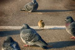 One brave sparrow vs doves on the street. Sparrow vs doves. Humor scene picture. Sparrow and dove wild city birds. Funny bird. S. Brave sparrow bird. Gutter bird royalty free stock photos
