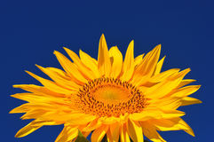 One bright colors sunflowers Stock Photos