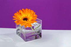 One bright orange gerbera flower in a glass square vase. On purple background Stock Photo